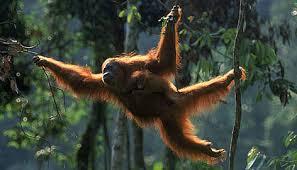 Orangutan I JPEG