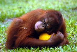 Orangutan II JPEG