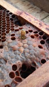 abejas9
